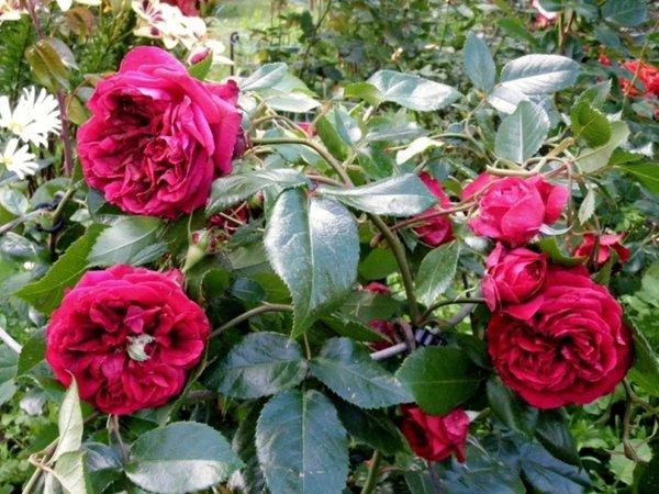 玫瑰国度的天使-藤本月季