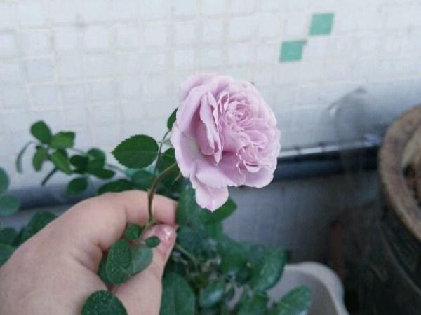 蓝色阴雨-藤本月季