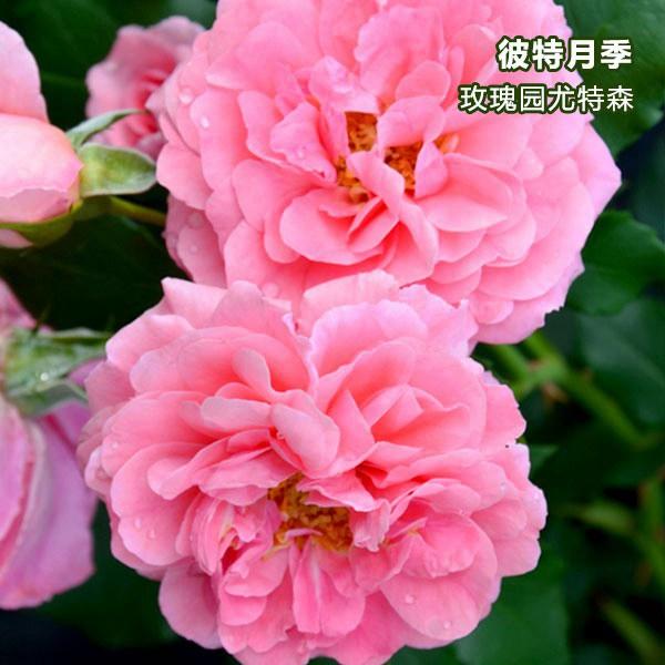 玫瑰园尤特森-藤本月季