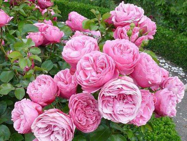 藤本月季为什么在南方不爱开花?