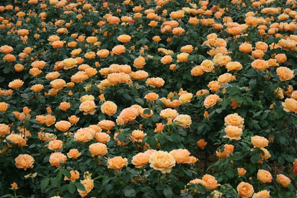 什么是丰花月季,有哪些品种