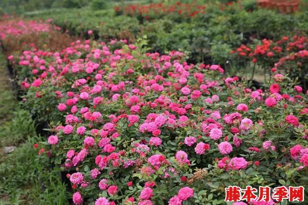 月季长着长着变蔷薇.jpg