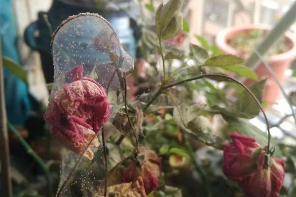春季红蜘蛛频发,如何来防治