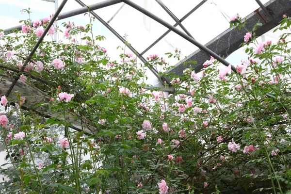 月季长着长着变蔷薇2.jpg