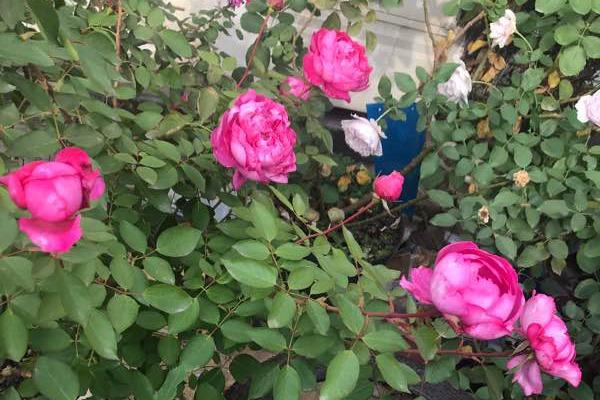 奥斯汀月季品种_伊芙胭脂香水-切花月季品种-藤本月季网