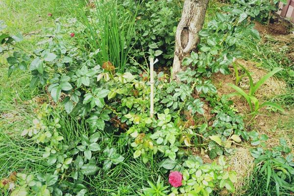 月季边上可以种些花花草草吗?