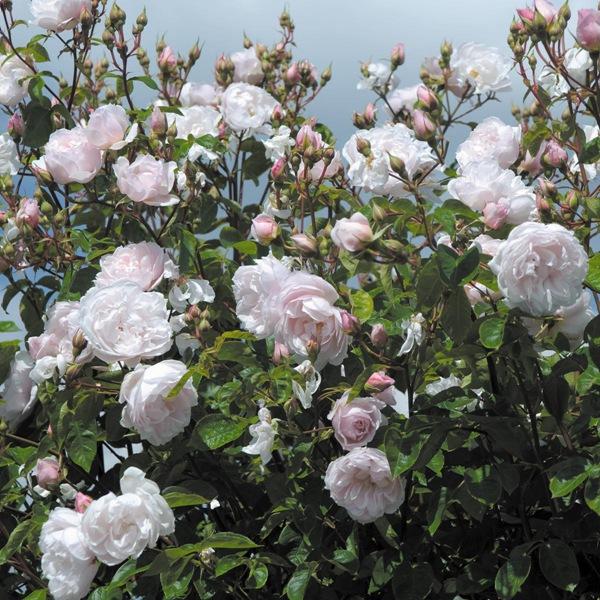 慷慨的园丁-藤本月季