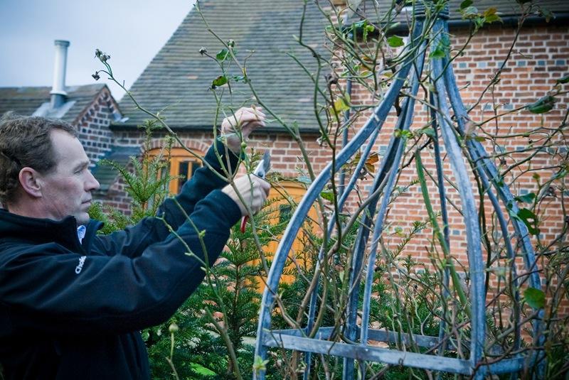 爬藤月季怎么修剪