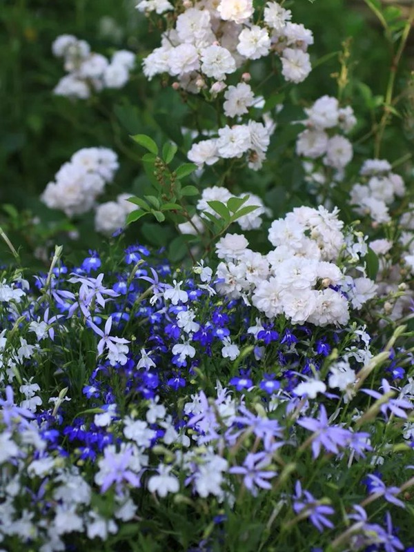 推荐给新手!与月季搭配相得益彰的草花们
