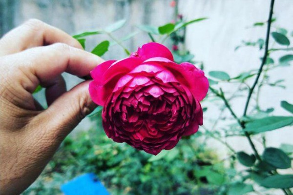 藤本月季三季开花品种