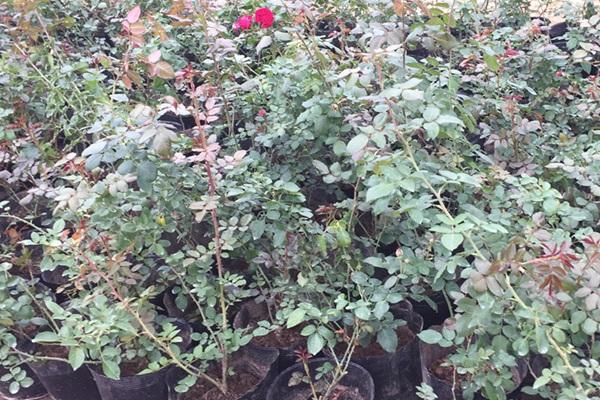 物美价廉的月季花小苗哪里有批发