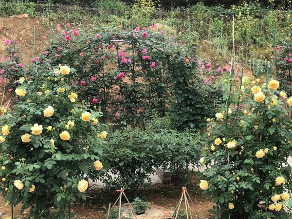 这样的一个月季花园就问你想不想要?