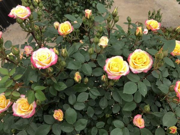 最全面的月季花的养殖方法汇总!