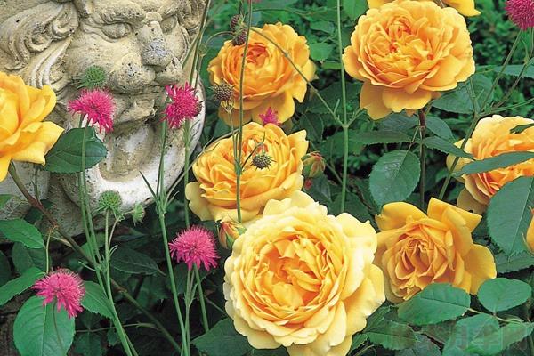 黄金庆典——比玫瑰更娇艳的英国月季