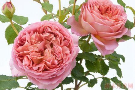 银禧庆典月季——抗病、勤花、浓香