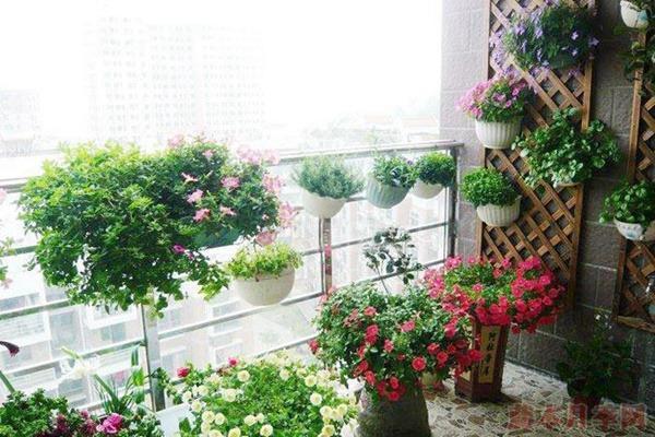 阳台适合种哪些月季,有什么需要注意的地方?