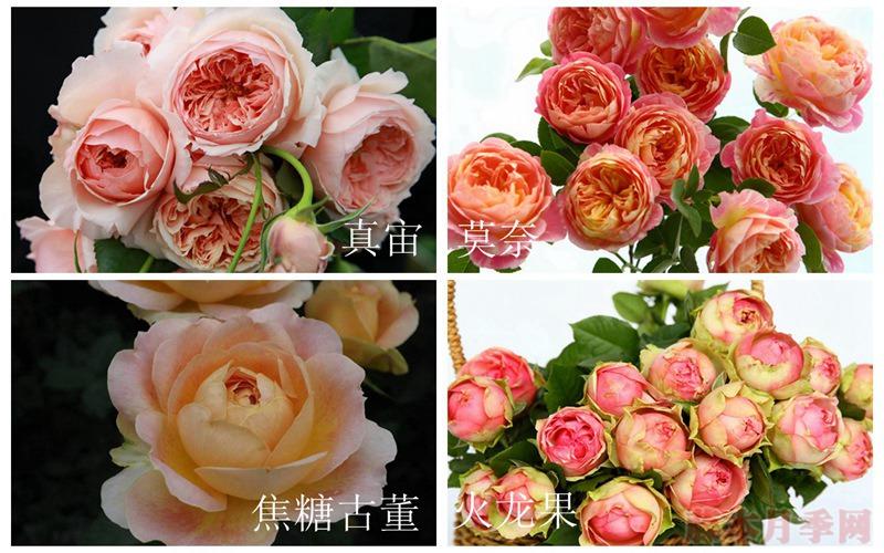 在广东表现最好的月季都有哪些?