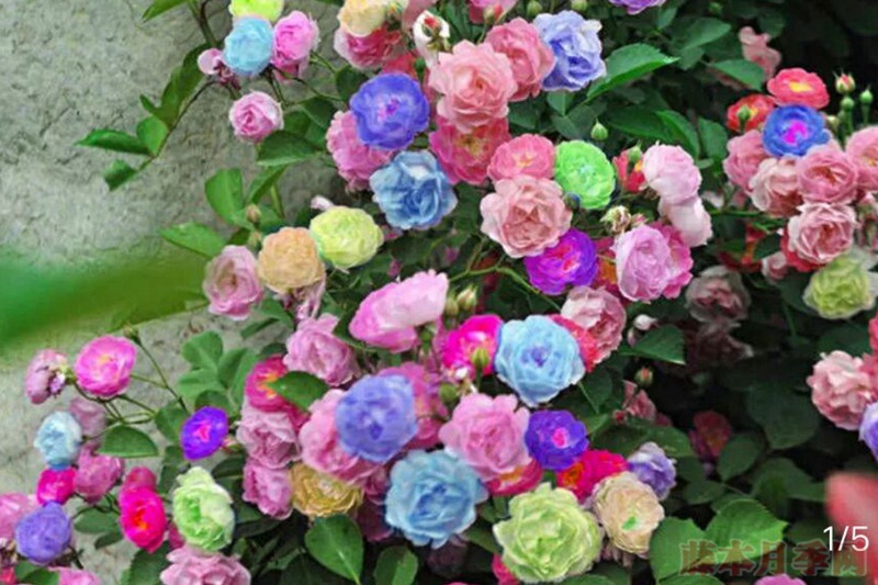 七彩玫瑰的传说