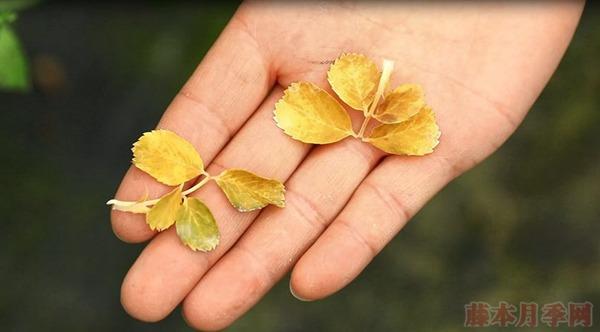 夏天月季黄叶是什么原因,如何处理?