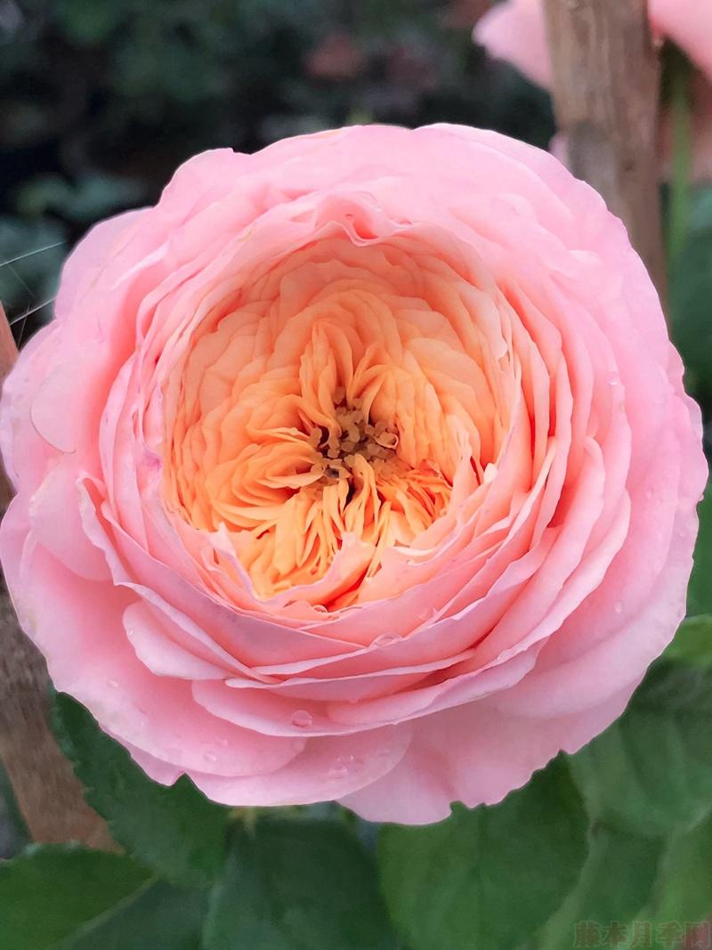 奥斯汀月季品种_香缇别苑(玫瑰香橙)-切花月季品种-藤本月季网