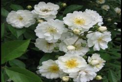 爱的花环Guirlande d'Amour