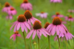 松果菊的种植时间及种植方法