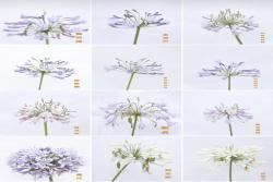 百子莲品种大全及图片