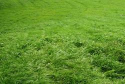 紫羊茅草坪种子批发价格及种植方法