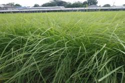 弯叶画眉草种子批发价格及种植方法