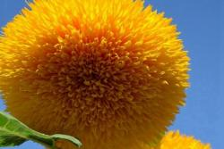 玩具熊向日葵_种子_图片_种植方法