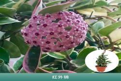 [球兰]球兰花图片_开花时间_种植方法