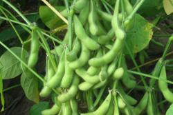 黄豆种子播种时间和种植方法