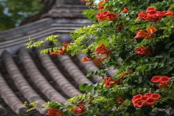 凌霄花图片及种植方法