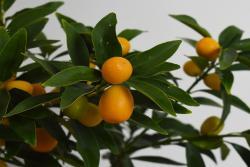 砂糖橘几月份成熟,砂糖橘盆栽种植方法
