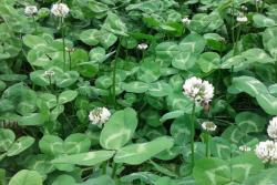 白三叶草种子价格及种植方法