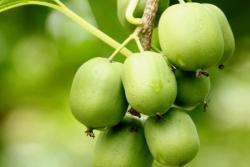 软枣猕猴桃的果期及种植方法