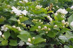 [茉莉花]茉莉花种子的种植方法及种植时间