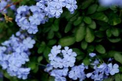 [蓝雪花]蓝雪花图片_花期_种植方法