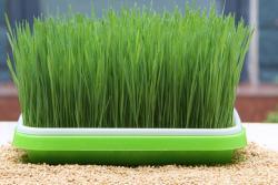芽苗菜家庭种植方法