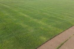 果岭草草坪种子批发价格及种植技巧