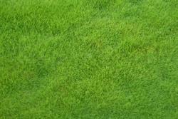 早熟禾草坪种子批发价格及种植方法