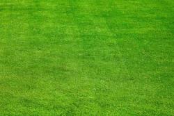 剪股颖草坪种子批发价格和种植技巧