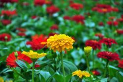 [百日菊]百日菊种子图片_价格_种植方法