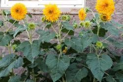 向日葵种子图片和种植方法
