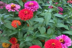 [百日草]百日草种子批发价格_种植时间和种植方法