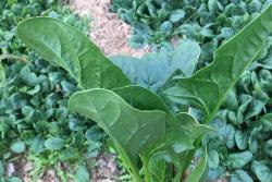 [菠菜]菠菜图片_种植方法
