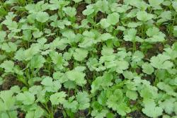 香菜种子的种植方法