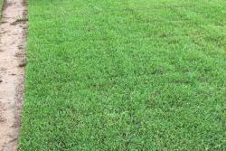 日本结缕草的优点及种植方法