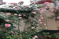 十大最美月季花品种有哪些?