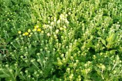 地被菊种子什么时候播种